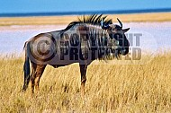 Wildebeest 0003