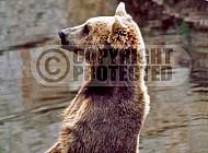 Bear 0008