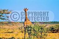 Giraffe 0015