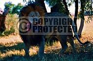 Lion 0020