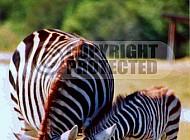 Zebra 0016