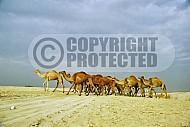 Camel 0001