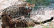 Jaguar 0005
