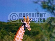 Giraffe 0020