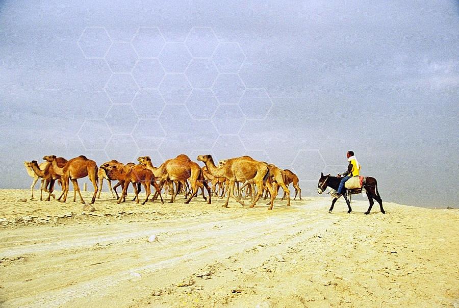 Camel 0013