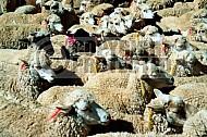 Sheep 0006