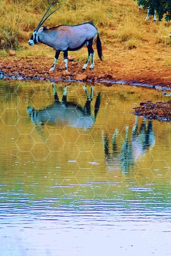 Oryx 0022