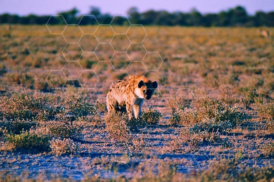 Spotted Hyena 0002