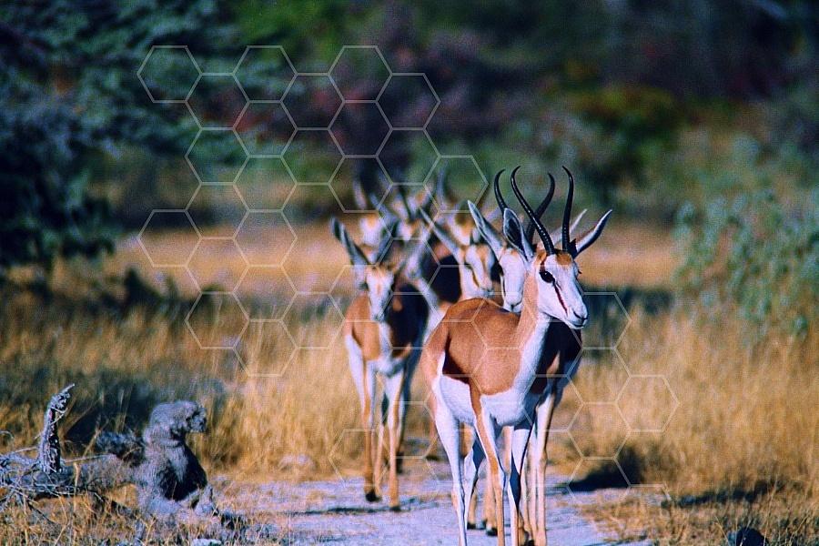 Springbok 0003