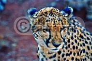Cheetah 0003