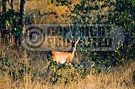 Steenbok Antelope 0003