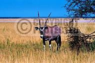 Oryx 0018