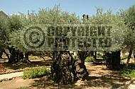 Jerusalem Gethsemani 0015