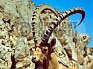 Ibex 0020
