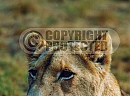 Lion 0055