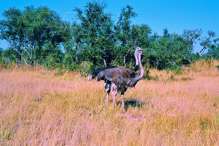 Ostrich 0005