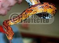 Viper Snake 0005