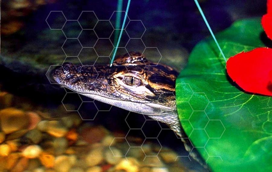 Alligator 0001