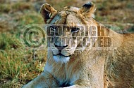 Lion 0027