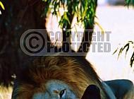 Lion 0052