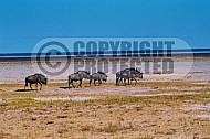 Wildebeest 0007