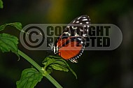 Butterfly 0011