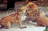Lion 0050