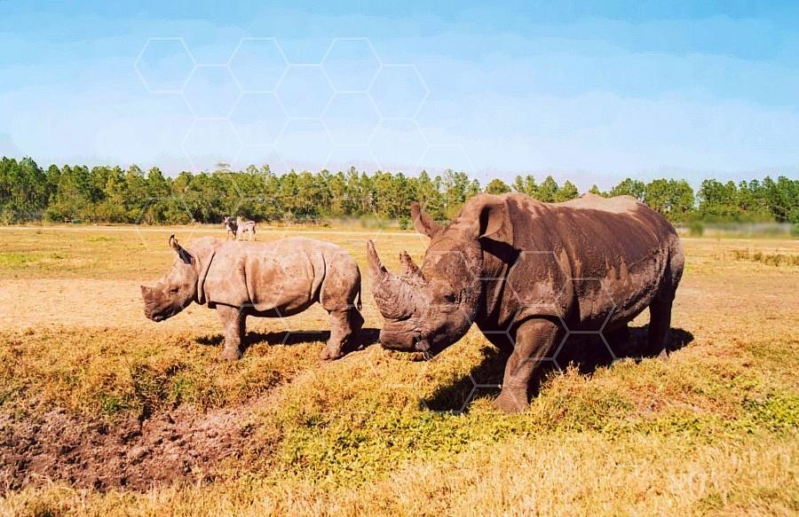 Rhinoceros 0008
