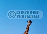 Giraffe 0027