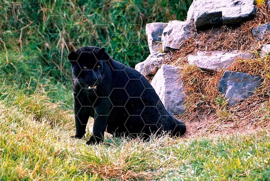 Jaguar 0007