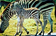 Zebra 0014