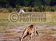 Giraffe 0026