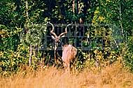 Kudu 0004