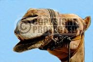 Camel 0010