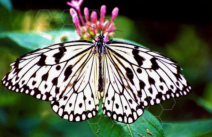 Butterfly 0054