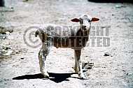 Lamb 0007