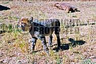 Cheetah 0004