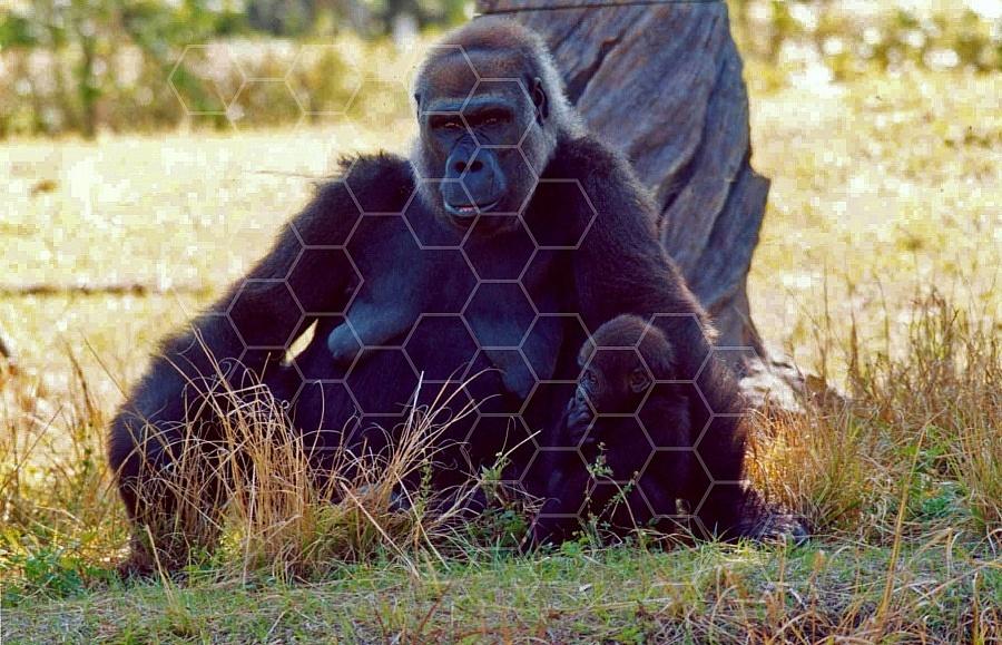 Gorilla 0001