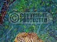 Leopard 0010