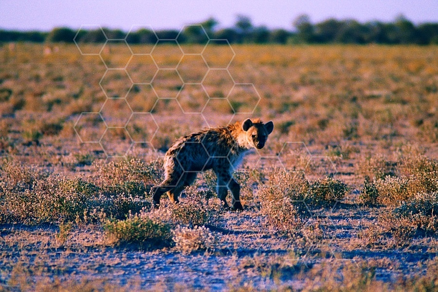 Spotted Hyena 0004