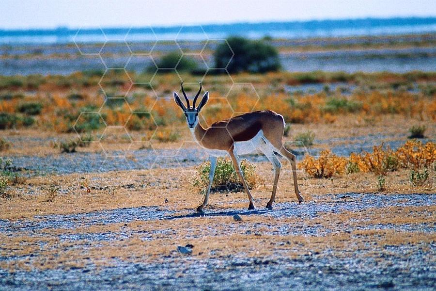 Springbok 0006