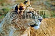 Lion 0025