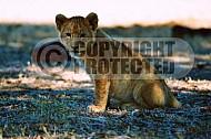 Lion 0014