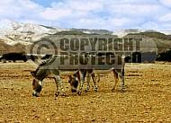 African Wild Ass 0006