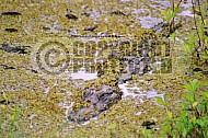 Alligator 0002