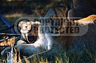 Lion 0030