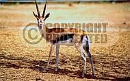 Gazelle 0002