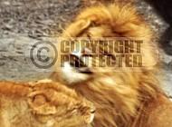 Lion 0060