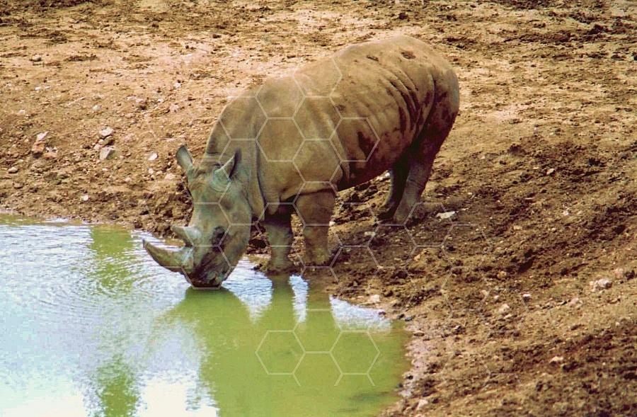 Rhinoceros 0013