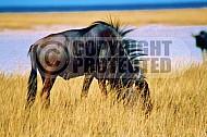 Wildebeest 0002